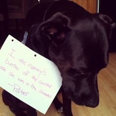 Portly Porter- That's my boy! Dog Shaming Photos, Dog Pictures, I Love Dogs, My Boys, Pitbulls, Dog Cat, Cute Animals, Chocolate Labs, Hilarious