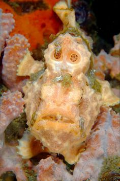 This is a frogfish. The big eyes you see are not really eyes! The eyes are actually on the sides if the head