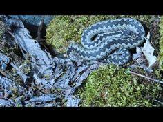 Ingo Valgma Viper, Snake, Popular, A Snake, Popular Pins, Snakes, Most Popular