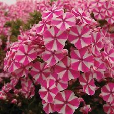phlox in Perennial Plants and Seedlings Shade Flowers, Bulb Flowers, Flowers Nature, Love Flowers, Beautiful Flowers, Bright Flowers, Tall Phlox, Pink And White Flowers, Lavender Roses