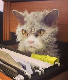 Albert is a Selkirk rex, a breed of cat known for its wild, tufty fur (Caters)