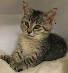 URGENT! Greenville, SC * Intake: 5/14 Available: 5/20 NAME: Newton ANIMAL ID: 27831046 BREED: DSH SEX: Male EST. AGE: 8 weeks Est Weight: 2.2 lbs Health: Temperament: Friendly ADDITIONAL INFO: Has a bobtail! RESCUE PULL FEE: $49