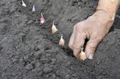 Plant garlic in fall for a summer harvest.