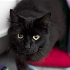 Pushka - Cat Rehoming & Adoption - Wood Green Animals Charity