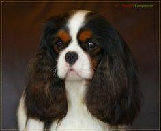 Cavalier King Charles Spaniel - tricolor - champion gorgeous!. http://www.annabelchaffer.com/