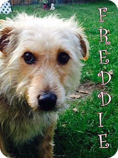 New Jersey, NJ - Yorkie, Yorkshire Terrier/Silky Terrier Mix. Meet Middletown NJ - Freddie, a dog for adoption. http://www.adoptapet.com/pet/11402567-new-jersey-new-jersey-yorkie-yorkshire-terrier-mix