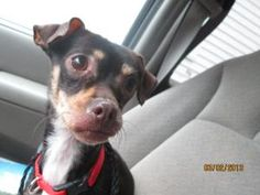 Snickers is an adoptable Chihuahua Dog in Norwalk, CT.   PLEASE COME AND MEET ME! SATURDAYS & SUNDAYS SPCA OF CONNECTICUT & ANIMAL ADOPTION NETWORK 359 SPRING HILL ROAD MONROE, CT 06468 NOON - 3 PM (2...
