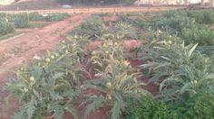 Plantación de alcachofas en nuestros huertos urbanos. Valencia, Plants, Veggie Gardens, Urban, Planters, Plant, Planting
