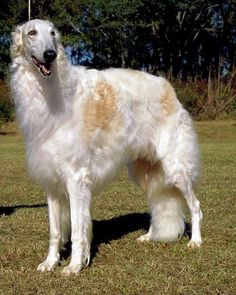 Borzoi. One of my friends used to breed them...like Grey Hounds, they are huge couch potatoes (in more ways than one), but Lord help you if they spot a deer or a coyote!