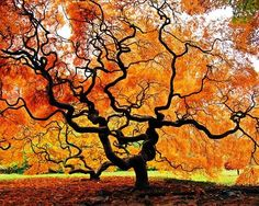 ancient japanese maple By: Avraham Bank Beautiful World, Beautiful Places, Japanese Maple, Nature Tree, Plantation, Tree Of Life, Amazing Nature, Belle Photo, Mother Nature