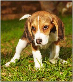 I love my beagles :D