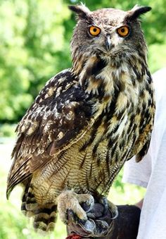 """Found in the forests and mountains of Asia and Europe, the Eurasian eagle owl has been called the """"nocturnal equivalent to the Golden Eagle"""", and with good reason. Weighing up to 4.3 kgs, with a wingspan of 2 meters, these owls are among the largest and most powerful, and although they feed mostly on rodents, rabbits and hares, they have also been known to take foxes, and even roe deer! They are also well known for killing and eating other raptors, both diurnal and nocturnal (and some…"""