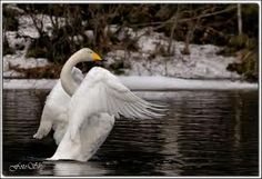 This is Finland's national bird, a swan.
