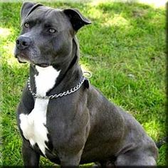 American Pitbull Terrier: Yes I do! I grew up with Duke and he was the sweetest and most loving dog. Pitts get a bad rap due to horrible breeding and training practices.