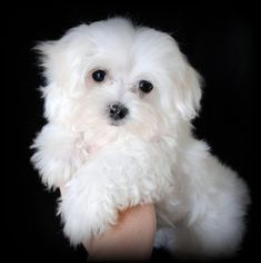 Maltese Puppies for Adoption | We also breed Maltipoos. That is a mix between a Maltese and Poodle.