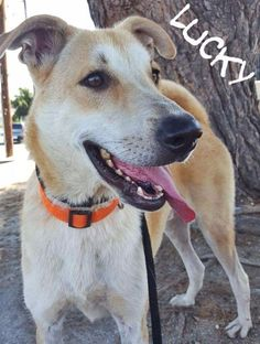 Canaan Dog dog for Adoption in St Helens, OR. ADN-643964 on PuppyFinder.com Gender: Male. Age: Young