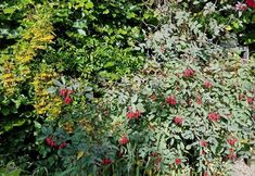Rosa glauca and Pyracantha, Sept 17