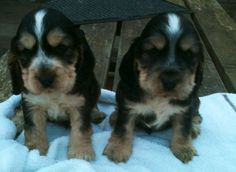 Cocker spaniel puppies for sale in Norfolk, Eastern :: Dogs and Puppies