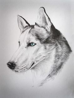 Husky - Pencil drawing by Kaye Cardell-Oliver