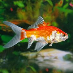 Feeder Goldfish calico | Exotic goldfish come in all colors, and are named by their body shape ...