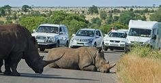 Rhino lies down in the middle of the road running thru Kruger Nat Park, holding up traffic for hours.