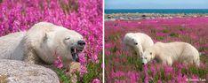 A polar bear vs. a flower: Who wins? (from Polar Bears Captured Frolicking In Flower Fields In Rare Photos By Canadian Photographer) Polar Bears Live, White Polar Bear, Champs, Pictures Of Polar Bears, Arctic Fox, Snowy Owl, Nature Animals, Bored Panda, Rare Photos