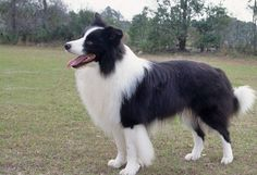 Caring Tips For Border Collies Dog Breed