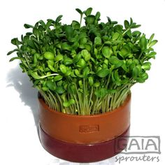 buy directly from designer and manufacturer of the GAIA sprouting range. Gaia, Sprouts, Planter Pots, Herbs, Clay, Food, Clays, Essen, Herb