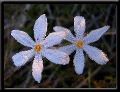 perth hills winter wild flowers   Winter - Perth Hills - Wildflowers of Western Australia