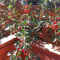 Prairie cherries ripening in my backyard