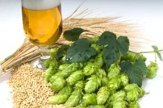 Late Hop Additions and Hop Oils in Beer Brewing