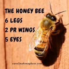 Honey bee facts about anatomy. Bees are insects with the same basic body parts. But honeybees are special too. #bees
