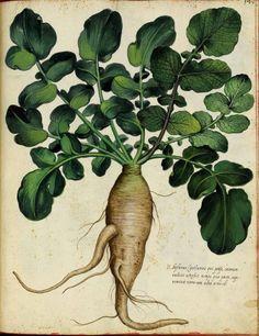 Botanical - Parsnip - Italian (1)