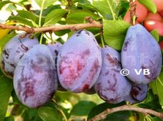 AMERS Eggplant, Plum, Fruit, Vegetables, Food, Essen, Eggplants, Vegetable Recipes, Meals