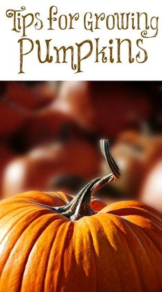 tips for growing pumpkins    autumn, fall, gardens, foliage, fall blooming, fall flowers, fall gardening tips, fall gardening, fall gardening vegetables, fall gardening plants, fall gardening ideas, fall gardening for beginners, fall gardening containers, fall bushes, fall shrubs, fall bulbs, autumn, autumn garden plants, planted in the fall, fall outdoor fall plants.     #fall #autumn #fallgarden #fallgardening  #autumngarden