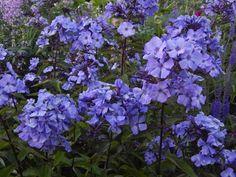Phlox 'Blue Paradise' at Cilgwyn Gardens Purple Garden, Pathways, Purple Flowers, Beautiful Gardens, Greenery, Paradise, Herbs, Cottage Gardens, Plants