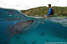Whale shark (Rhincodon typus) resting its chin on the fisherman's foot whilst waiting to be fed.