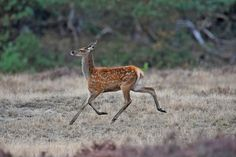 Flying young Red deer by raymgloden