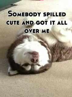 Husky cuteness. And now, it's getting all over the carpet. How cute is that?