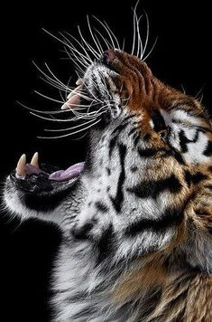 40 Breathtaking Portraits Capture The True Beauty Of Wildlife - Animals - Tiere Beautiful Cats, Animals Beautiful, Big Cats, Cats And Kittens, Animals And Pets, Cute Animals, Wild Animals, Baby Animals, Gato Grande