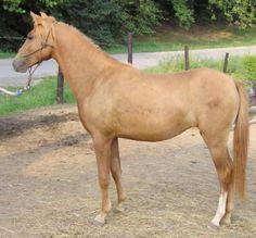 1000+ images about Caspian Horse on Pinterest | Horse ...
