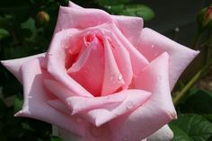 10 Pink Rose Seeds * Don& get left behind, see this great product : Gardening Flowers Pink Rose Flower, Blue Roses, Flowers Perennials, Planting Flowers, Flowering Plants, Rose Flower Wallpaper, Rose Rise, Vida Natural, Rainbow Roses