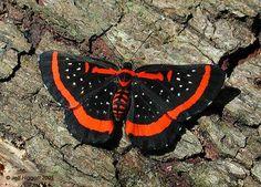 Riodinidae