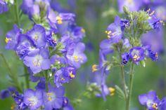 Gartenzauber | Himmelsleiter (Polemonium) - Gartenzauber