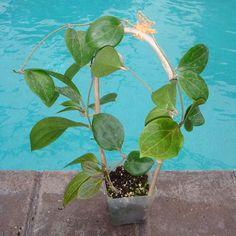 Hoya sp. UT-223 Cutting SRQ 3251 [3251x] - $28.00 : Buy Hoya Plants Online in Many Species from SRQ Hoyas Today!