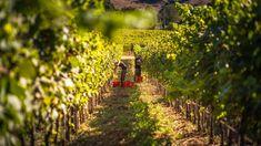Picking Vermentino in the vineyards of Siddùra in Sardinia Wine Education, Growing Grapes, Italian Wine, Mediterranean Sea, Orange Blossom, Sardinia, Aerial View, The Expanse, White Wine