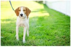 Sheldon is an adoptable Beagle Dog in Richmond, VA. AARF only adopts in Richmond, Virginia Hi, my name is Sheldon, and I am a very sweet little girl. I like to run around and play in the backyard and ...