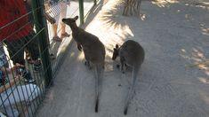 Kangaroo, Animals, Nice, Animais, Animales, Animaux, Animal, Dieren, Kangaroos