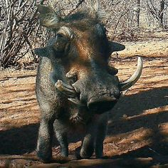 """8 Likes, 1 Comments - Riebelton Safaris (@riebelton_safaris) on Instagram: """"Warthog reflections: An old right-handed trophy boar. Note how the right tusk has been worn down…"""""""