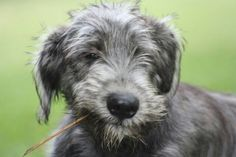 Wolfhound pup begins practicing his leadership skills from a young age.